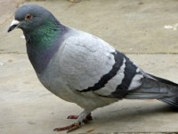 feral-pigeon