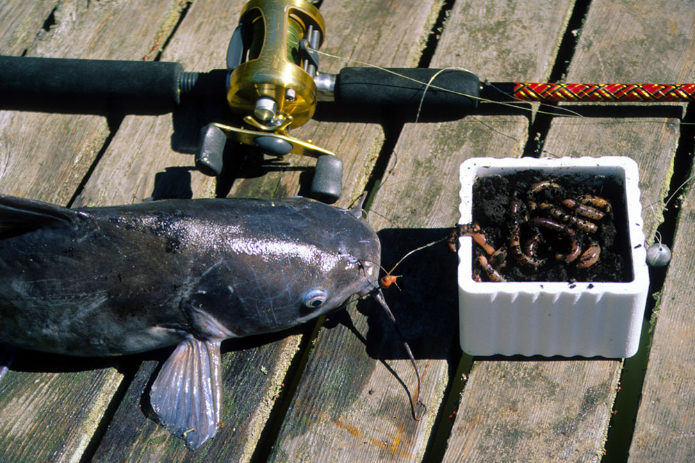 //www.gameandfishmag.com/files/10-best-tips-for-catching-catfish/10_tips_catfish_1.jpg