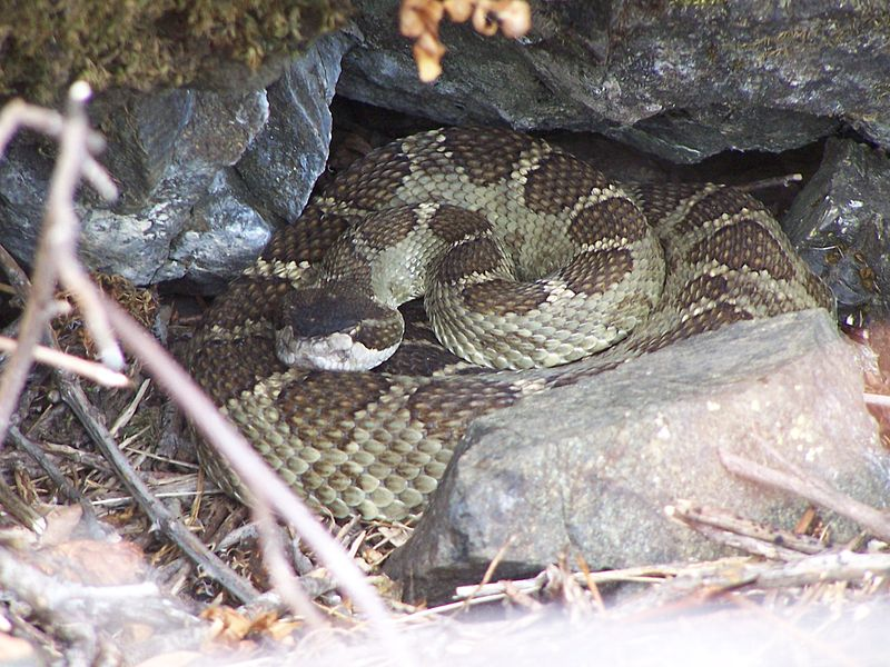 //www.gameandfishmag.com/files/10-scariest-creatures/2-800px-timber_rattlesnake.jpg