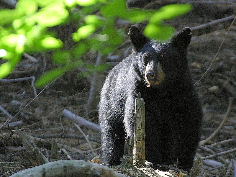 //www.gameandfishmag.com/files/10-scariest-creatures/3-black_bears.jpg