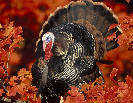 //www.gameandfishmag.com/files/10-top-states-for-wild-turkey/1turkey.jpg