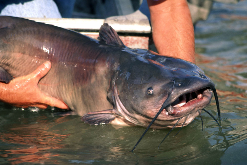 //www.gameandfishmag.com/files/12-best-states-for-catching-monster-catfish/california_1.jpg