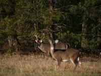 1-Buck-doe-3