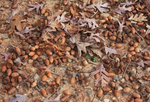 white oak acorns, deer food, quercus alba, what do deer eat