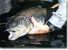 Get the Jump on French Broad Trout
