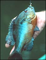 You usually don't want to get the blues - particularly in the springtime - unless, that is, we are talking about bluegills! Join the author in exploring some panfishing possibilities in South Georgia.