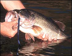 Several of our state's biggest reservoirs continue to produce good numbers of lunker largemouth bass. Is one near you?