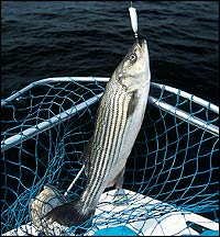 New Hampshire's Piscataqua River Striped Bass