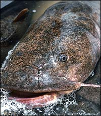 Unfortunately, it is true that a flathead catfish has a mug that only its mother could love. On the other hand, many anglers do love these bruisers. Let's look at the best places in the Peach State in which to find them.