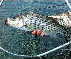 Fishtrap Lake Hybrid Striper Bonanza