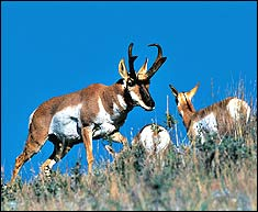 Many areas remain drier than pronghorns demand, but Ma Nature has cracked open the spigot and some manner of recovery is beginning to materialize. Pray for rain and pass the ammo.