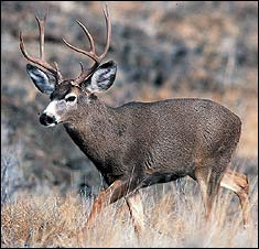 Nevada Deer Forecast