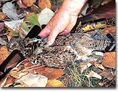 From Beech Fork to Beury Mountain -- plus three other top choices -- here's where you'll find ruffed grouse shooting right now in our state!
