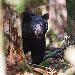 There's great bear hunting to be found in Arkansas this fall, and so we offer these valuable tips on where and how to hunt the animals -- courtesy of some of the state's top bear hunters. (October 2009)