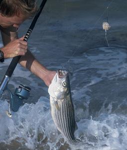 Fall Bluefish & Striper Run In New Jersey