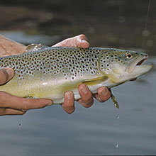 Golden State Trout Forecast