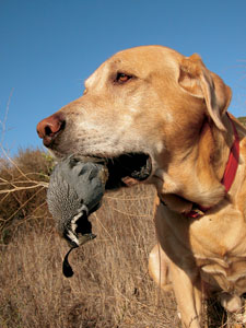 Want to keep your retriever busy this October? Check out this roundup of quail-hunting hotspots around the state.