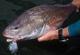 Panhandle Redfish