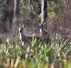 Deer can be found in every corner of Florida, but some areas produce far more whitetails than others. Here's an in-depth look at the best places to bag a deer this fall. (October 2009)