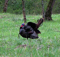 With the approach of opening day, will the Georgia woodlands be alive with wild tom turkeys sounding off? Let's ask the experts. (March 2010)