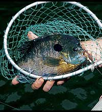 The Peach State's public fishing areas boast 110 ponds containing more than 2,000 acres of water. Best of all, these lakes are teeming with hungry bream this month!