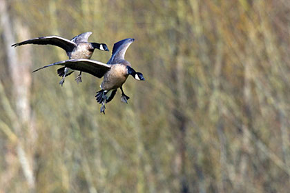 No one can predict the weather from season to season, but with just a little cooperation from the weatherman this year, the stage will be set for a banner year for Great Plains duck and goose hunting.