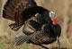 Expert Tips On Pennsylvania Turkeys