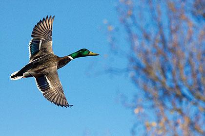 ¿Qué tipo de patos son muy buenos para comer. : Caza del pato de Oklahoma