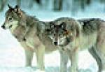 gfwolf_022511pl