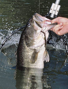 Kansas bass fishermen will find some pretty good action all over the state again this year. As I researched the prospects for another fishing season, it became apparent that the Sunflower State's bass resource is pretty much underappreciated.