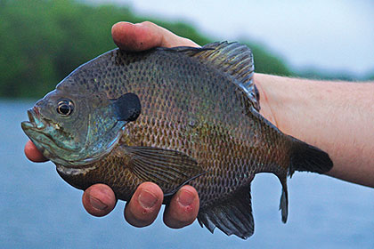 Fancy yourself a picador? Then hit the water on one of Iowa's premier bluegill lakes this month and pick a fight with a waterborne bull! (May 2010)