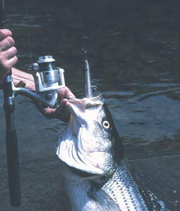 There are some things in life that you never forget. Battling a big striped bass is one of them. Find out for yourself on these waters. (April 2007)