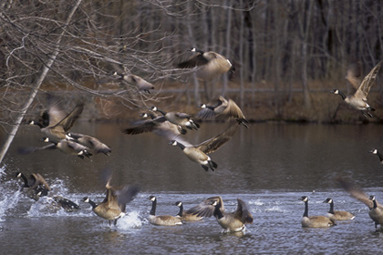 Our local expert selects prime public picks for fine goose hunting, from right now through the end of the season. (January 2008).