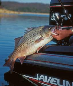 Some uncommonly fine hybrid striper action is possible on the five waters highlighted here. Don't miss out! (May 2008)