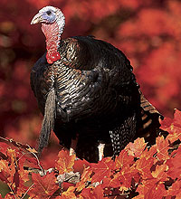 With expanded areas and more days to hunt, Kentucky sportsmen are warming to the idea of bagging a fall turkey for Thanksgiving dinner!