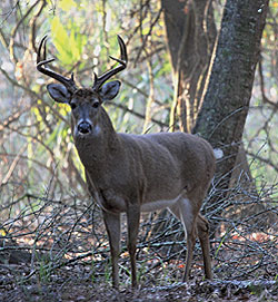 The Bayou State gives up great whitetails every year, and some areas are the consistent producers. Here's a statewide in-depth look at those regions. (November 2009)