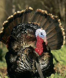 This year marks the 30th spring season in our state's modern turkey hunting history. Here's everything you need to know before going afield in 2007. (April 2007)
