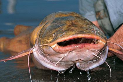 Best Catfishing In Missouri