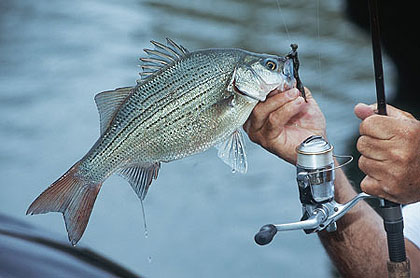 These feisty little bass put up a fight, are plentiful and make great dinner guests. What more can you ask of a fish? (April 2009)