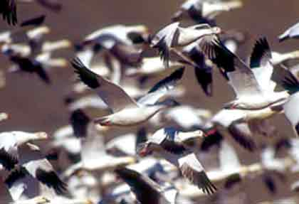 With the waterfowl season opening this month, it's time to plan your goose hunts. Here's an overview of how the birds are doing and where you can find them in the Magnolia State. (Novemeber 2008).