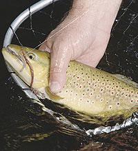 Wild Trout & Natural Bait In North Carolina