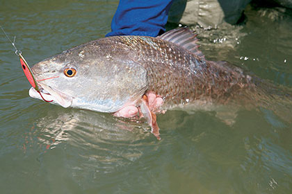 Saltwater best bets 5 top carolina fish for Nc saltwater fish