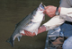 Here's how and where experts catch stripers in the summer at four of North Carolina's best striper lakes. (July 2007)
