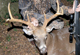 North Carolina has excellent hunting opportunities on public game lands. Some of the best opportunities are for hunters who put in for draw hunts. (July 2007)