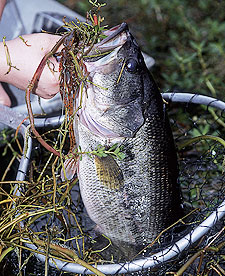 Fishing Triangle Largemouths In The Fall