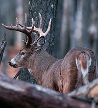 Here's a look at where to find some great late-season deer hunting in New England. (January 2006)