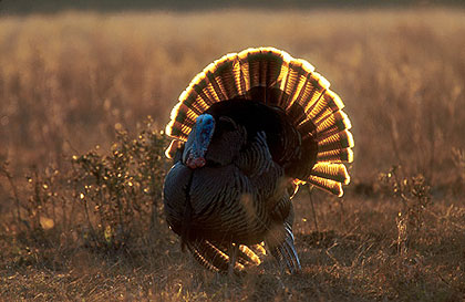 Good spring nesting weather and a mild winter should mean excellent turkey hunting for New England sportsmen in 2009. Here's a look at what's happening in your state this season. (May 2009)