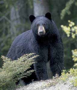 Some of the best bear hunting in the U.S. takes place in the Northeast, where long, varied seasons and growing bear populations means plenty of opportunities for hunters. Our expert has the story.(September 2007)