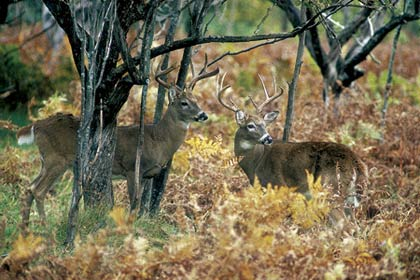 New England's whitetail experts are predicting another banner year for hunters, with more opportunities, increasing deer herds and extended seasons in most states. (October 2007)