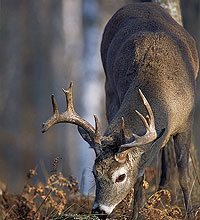 Don't put your gun or bow away just yet. There is plenty of good deer hunting available in southern New England this month, including opportunities well into February! (December 2005)